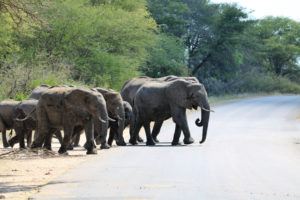 Zuid-Afrika Kruger Elephants